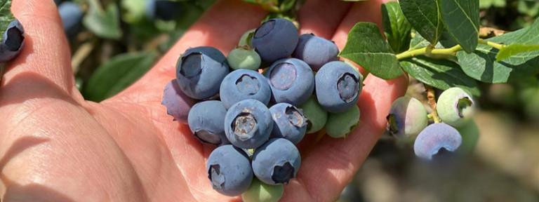 Good-berry-header